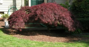 Leafed out Acer Palmatum, Summer 2009